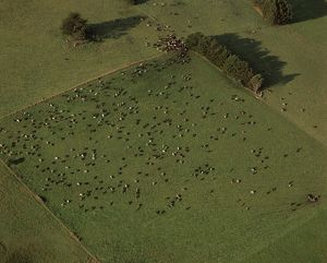 Aerial view of farmland with grazing dairy cattle
