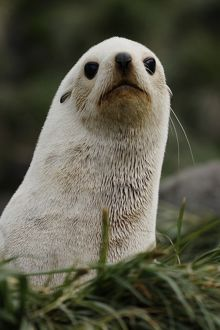 Antarctic fur seal (Arctocephalus gazella)