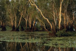 A backwater swamp with Paperbarks (Melaleuca spp.)