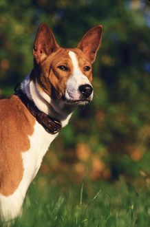 Basenji or Congo dog (Canis familiaris)