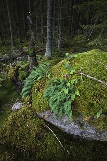 Boulder in primeval temperate forest covered with moss and Common polypody ferns,