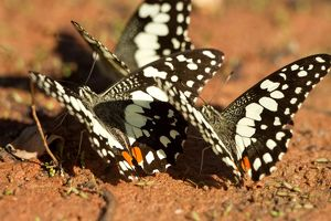 Chequered swallowtails (Papilio demoleus)