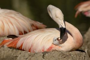 Chilean flamingo (Phoenicopterus chilensis)