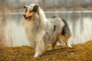 COLLEY D' ECOSSE/ ROUGH COLLIE
