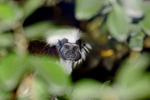 Cotton-top tamarin (Saguinus oedipus)