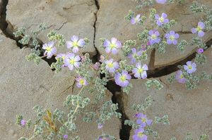 Desert wildflowers blooming after winter rain.