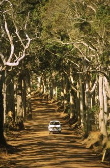 Dirt road lined with Karri trees (Eucalyptus diversicolor)