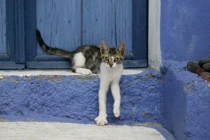Domestic cat (Felis catus)