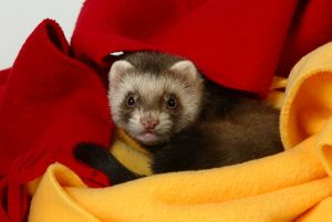 Domestic ferret (Mustela putorius furo)