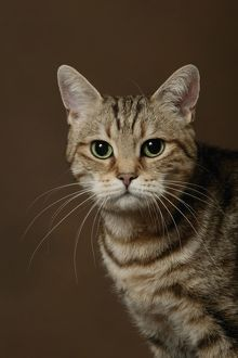 European cat (Felis catus)