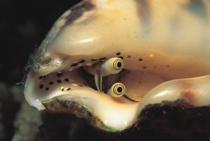 Detail of eyes of a conch