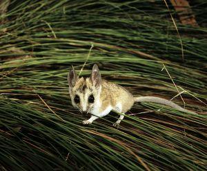 Fat-tailed dunnart (Sminthopsis crassicaudata)