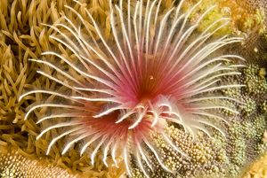 Feather-duster worm (Bispira sp.)