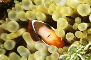 Fire clownfish (Amphiprion melanopus)