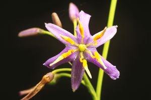 Flax lily (Dianella sp.)