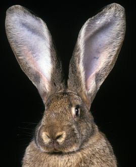 Flemish giant rabbit (Oryctolagus cuniculus domesticus)
