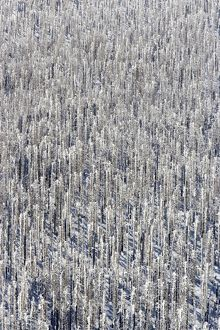 Forest of Norwegian spruce (Picea abies)