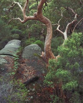 Forest of Sydney red gums (Angophora costata)