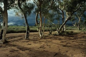 Ghost gums in dry river bed (Corymbia aparrerinja)