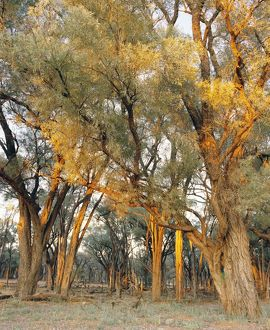 Gidgee forest (Acacia cambagei).