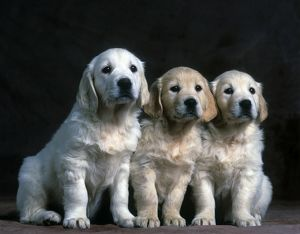 Golden retreiver/ chiots
