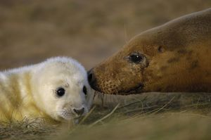 Grey seals (Halichoerus grypus atlanticus)