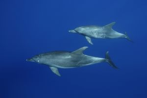 Indian Ocean bottlenose dolphin (Tursiops aduncus)