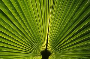 Leaf of Fan palm (Licuala ramsayi)