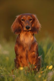 Long-haired dachshund (Canis familiaris)