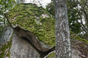 Moss-covered granite boulders in birch forest (Betula sp.)