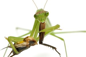 Narrow-winged mantis (Tenodera angustipennis)