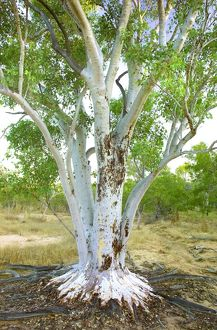 Old growth gum tree (Eucalyptus sp.)