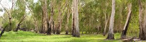 Open woodland with Paperbark trees (Melaleuca sp.)