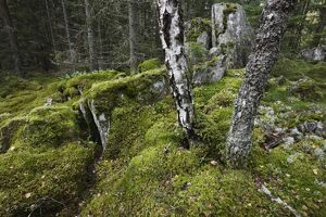 Primeval temperate forest with moss-covered boulders,