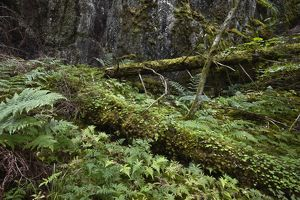 Primeval temperate forest in summer with moss and ferns,