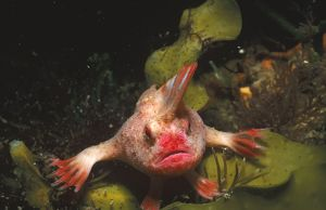 Red handfish (Sympterichthys politus)