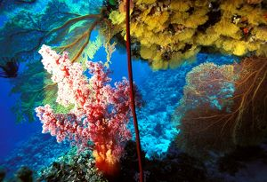 Sea fans, soft coral and sea whip