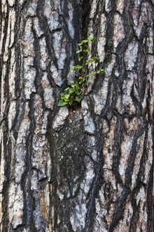 Silver birch growing opportunistically on the rough bark of a Scots pine (Pinus