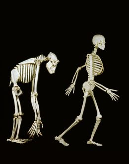 Skeletons of human and gorilla.