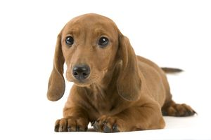 Smooth-haired dachshund (Canis familiaris)