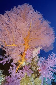 Soft coral (pink) (Dendronephthya sp.)