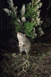 Southern brown bandicoot (Isoodon obesulus)