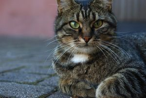 A tabby alley cat (Felis catus)