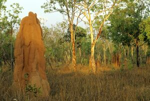 Termite mounds in lowland open forest,