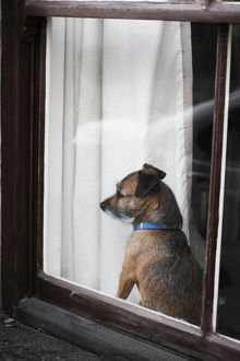 Terrier looking out through window,