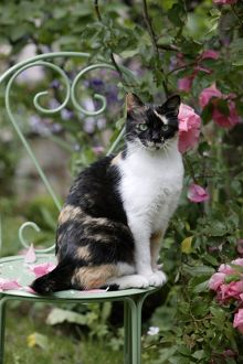 Tortoiseshell and white cat (Felis catus)
