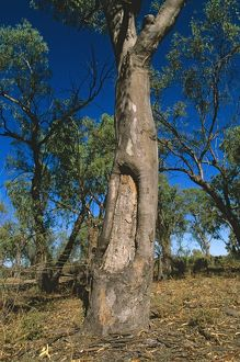 Tree with bark removed by Aboriginal people,