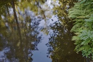 Trees and ferns reflected in still water,