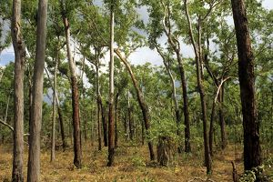 Typical dominant tall monsoon sclerophyll forest of Darwin woollybutt (half-barks)
