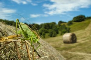 Upland green bush-cricket (Tettigonia cantans)